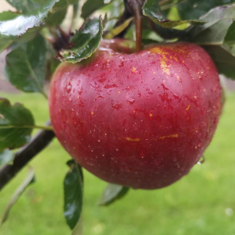 Dværg Æbletræ Ritt Bjerregaard