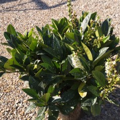 Prunus laurocerasus Piri - Dværg Laurbærkirsebær / 30-40 cm.