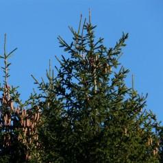 Rødgran, Picea abies