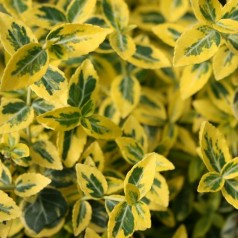 Krybende Benved, Euonymus fortunei Emerald Gold