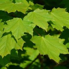 Spidsløn 60-100 cm. - Bundt med 10 stk. barrodsplanter - Acer platanoides _