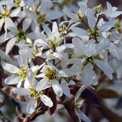 Amelanchier canadensis - Bærmispel