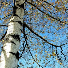 Betula pendula - Vortebirk / 175-200 cm.