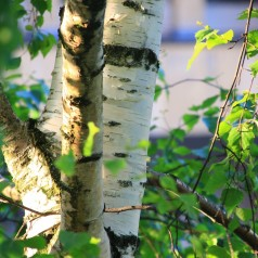 Birk grundstammer - Betula pendula