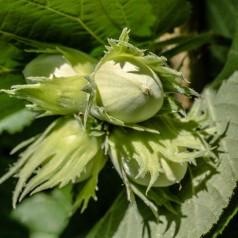 Hassel Corylus avellana