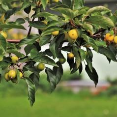 Æble Grundstammer, Malus sylvestris