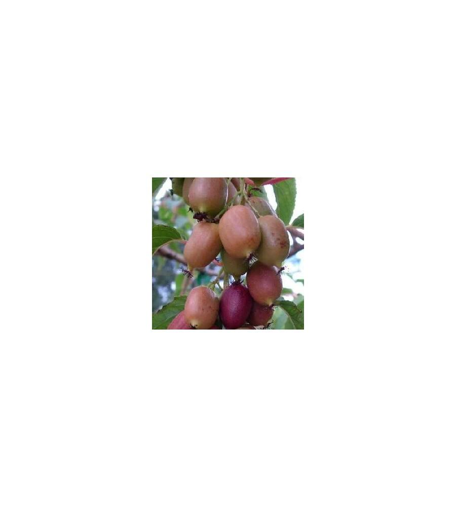 Actinidia arguta Kens Red / Stikkelsbærkiwi