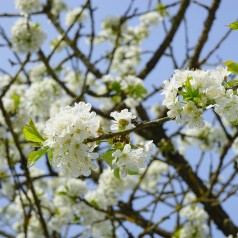 Prunus Avium Fuglekirsebær