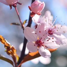 Blomme Grundstammer