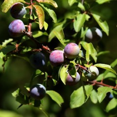 Slåen Prunus spinosa