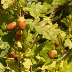 Quercus robur - Stilkeg