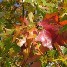 Quercus rubra - Rødeg