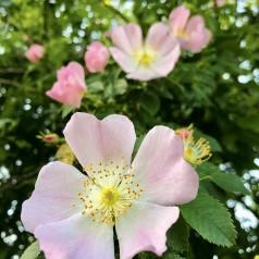 Blågrøn Rose, Rosa dumalis