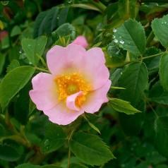 Æblerose, Rosa rubiginosa