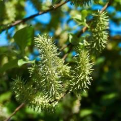 Gråpil, Salix cinerea