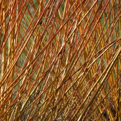 Båndpil, Salix viminalis