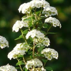 Buketspiræa, Spiraea vanhouttei