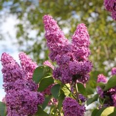 Almindelig Syren, Syringa vulgaris