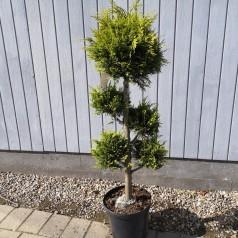 Chamaecyparis lawsoniana Ivonne - Pom-Pon - 100-125 cm.