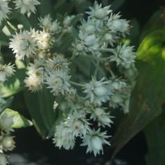 Anaphalis triplinervis - Perlekurv