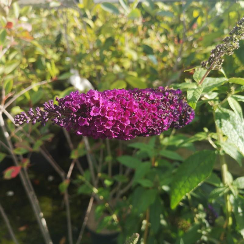 Buddleja davidii African Queen / Sommerfuglebusk