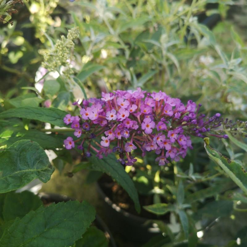 Buddleja davidii Buzz Pink Purple - Dværg Sommerfuglebusk