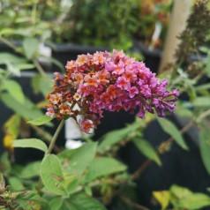 Buddleja davidii Flower Power ( Bicolor ) / Sommerfuglebusk