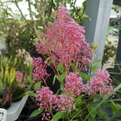 Ceanothus pallidus Perle Rose / Amerikansk Syren