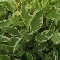Cornus alba Elegantissima - Hvidrandet Kornel