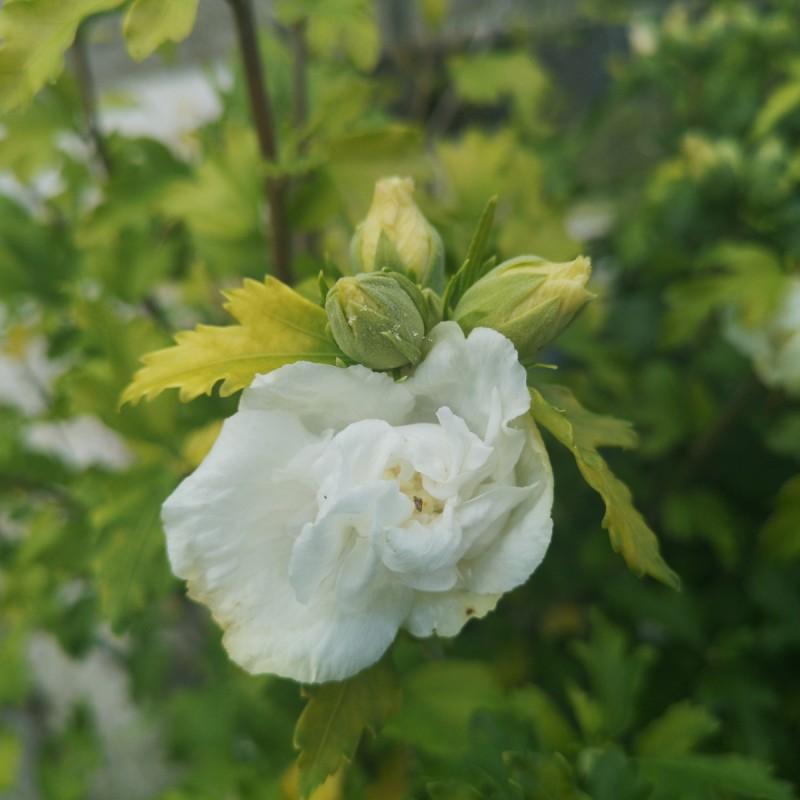 Hibiscus syriacus Admiral Dewey / Syrisk Rose