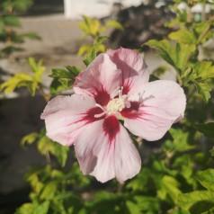 Hibiscus syriacus Hamabo / Syrisk Rose