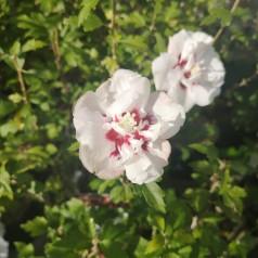 Hibiscus syriacus Speciosus / Syrisk Rose