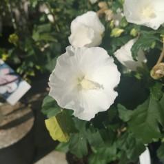 Hibiscus syriacus Totus Albus / Syrisk Rose