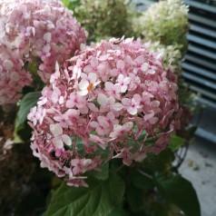 Hydrangea arborescens BellaRagazza Mauvette - Hortensia