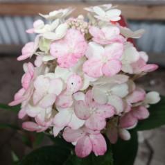 Hydrangea paniculata Little Quick Fire / Syrenhortensia