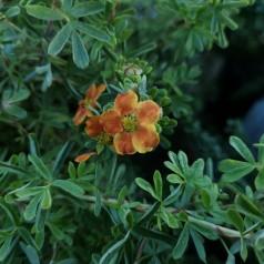 Potentilla fruticosa Hopleys Orange - Buskpotentil