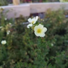 Potentilla fruticosa McKay's White / Buskpotentil