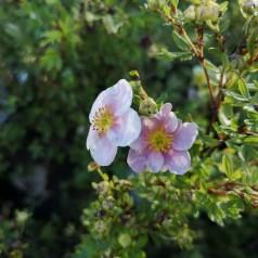 Potentilla fruticosa Pink Queen (Blink Princess) - Buskpotentil
