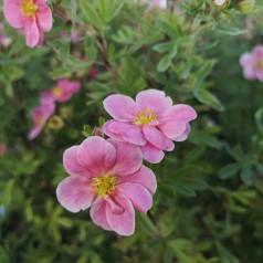 Potentilla fruticosa Pink Paradise ( Kupinpa ) - Buskpotentil