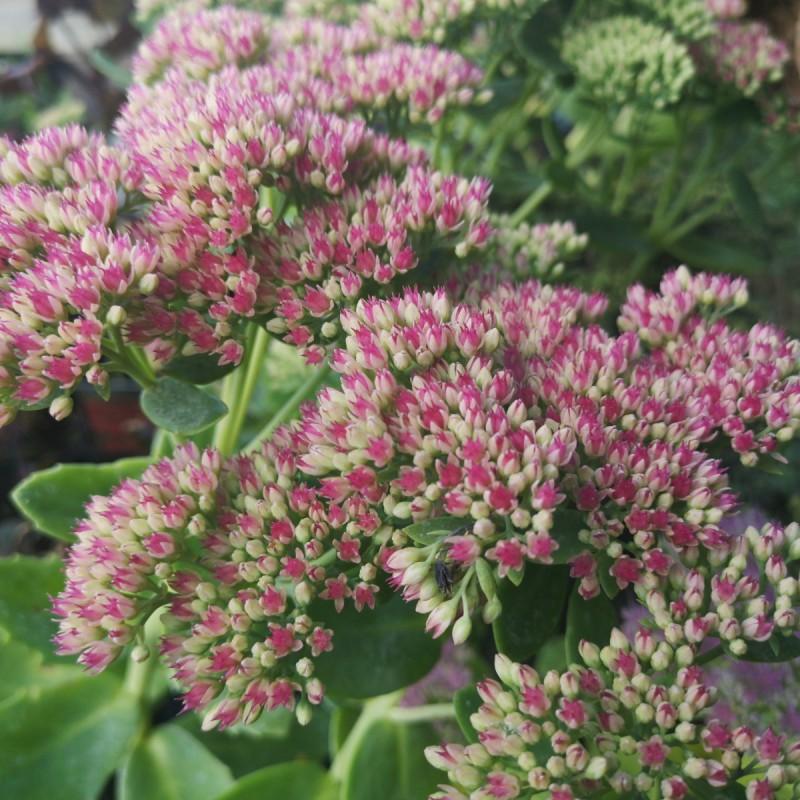Sedum hybrid Herbstfreude / Sankthansurt