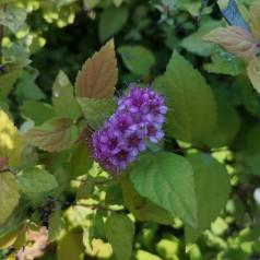Spiraea japonica Goldmound - Spiræa