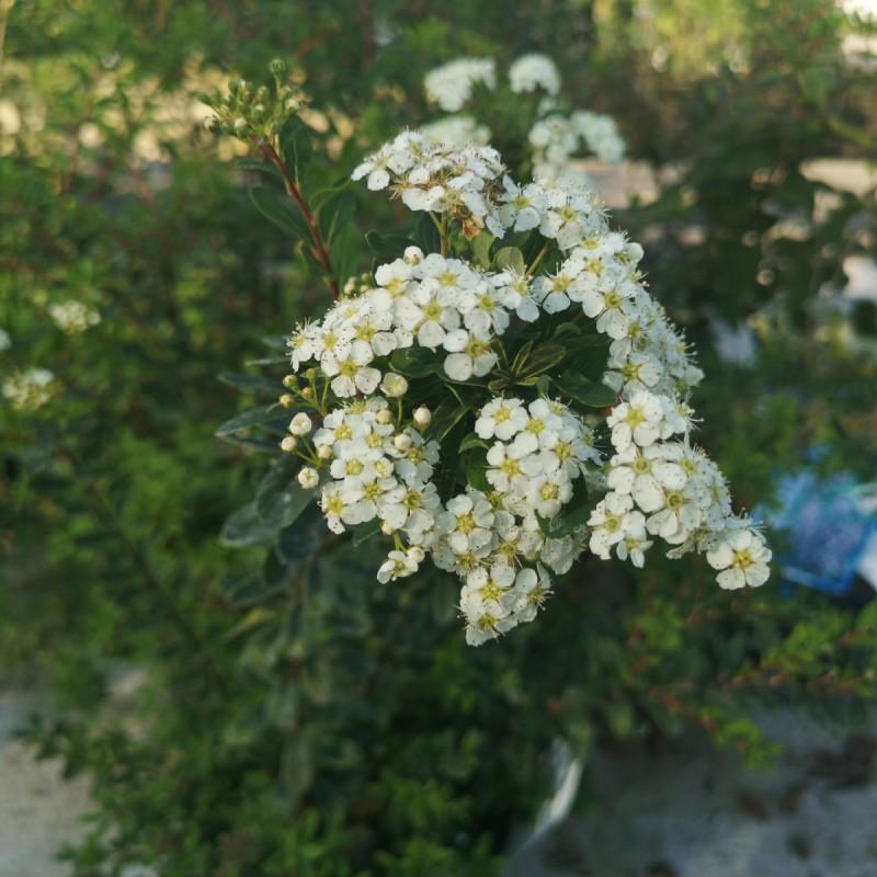 Spiræa Snowmound 20-40 cm. - Bundt med 10 stk. barrodsplanter - Spiraea nipponica Snowmound _