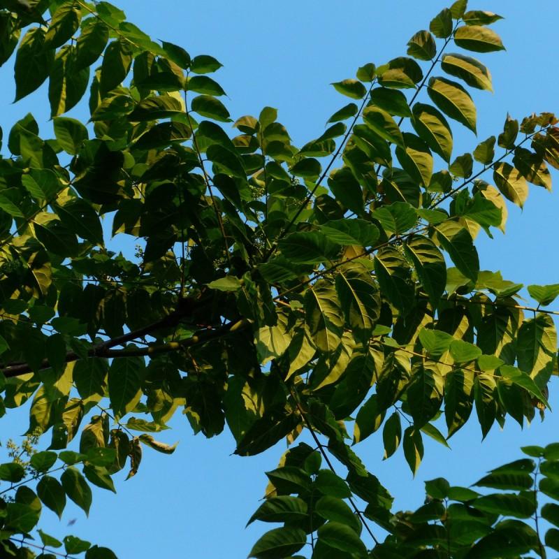 Ailanthus Altissima - Skyrækker