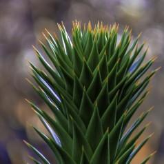 Abetræ - Araucaria araucana 25-30 cm.