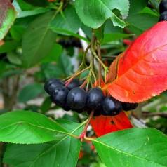 Storfrugtet Surbær 'Aron' - Aronia prunifolia Aron