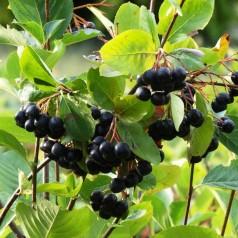 Storfrugtet Surbær Hugin - Aronia prunifolia Hugin