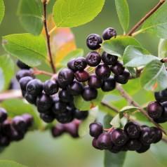 Storfrugtet Surbær Nero - Aronia prunifolia Nero