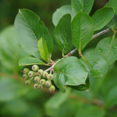 Storfrugtet Surbær Viking - Aronia prunifolia Viking
