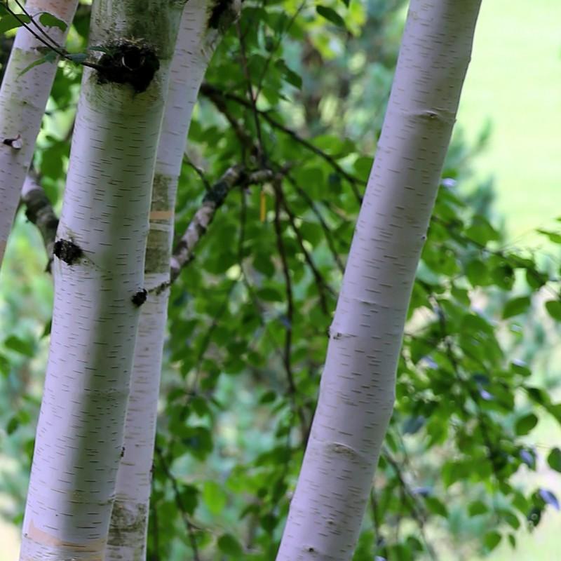 Betula utilis - Himalayabirk / Træ 175-200 cm.