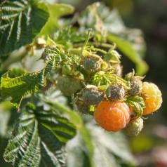 Hindbær Fallgold